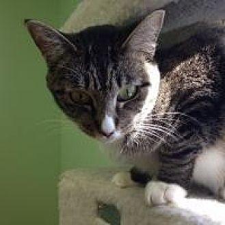 Domestic Mediumhair Cat for adoption in Hudson, Florida - Harmony