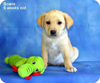 Labrador Retriever/Shepherd (Unknown Type) Mix Puppy for adoption in Yreka, California - Bowie