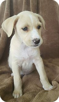 Beagle/Fox Terrier (Smooth) Mix Puppy for adoption in Spring, Texas - BELLA