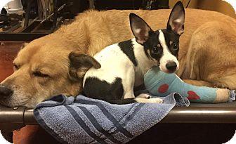 Rat Terrier Mix Dog for adoption in Flower Mound, Texas - Chance