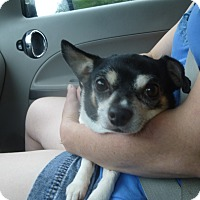 Pug/Chihuahua Mix Dog for adoption in Glastonbury, Connecticut - Lola