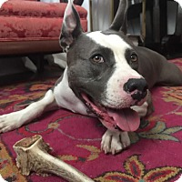 American Pit Bull Terrier Mix Dog for adoption in Atlanta, Georgia - Joker