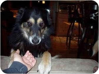 Sheltie, Shetland Sheepdog/Collie Mix Dog for adoption in Kansas City, Missouri - Carter