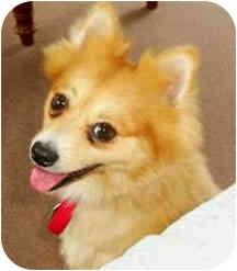 Pomeranian Dog for adoption in Norwalk, Connecticut - Rusty