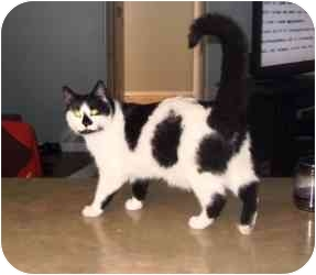 Domestic Mediumhair Cat for adoption in Rochester Hills, Michigan - Mr. Norris