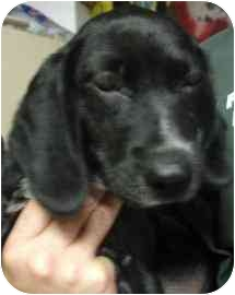 Beagle/Labrador Retriever Mix Puppy for adoption in Old Bridge, New Jersey - Kasa
