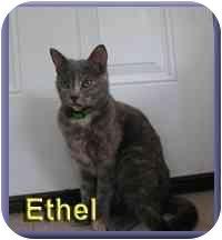 Domestic Shorthair Cat for adoption in Aldie, Virginia - Ethel