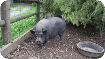 Pig (Potbellied) for adoption in Quilcene, Washington - Pineapple