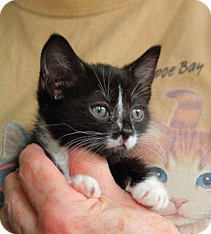 Domestic Shorthair Kitten for adoption in Tillamook, Oregon - Ziva