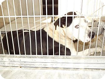 Pit Bull Terrier Mix Dog for adoption in San Diego, California - Moose URGENT