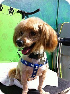 Cockapoo Mix Dog for adoption in Goleta, California - Puma
