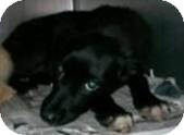 Retriever (Unknown Type)/Border Collie Mix Puppy for adoption in richmond, Virginia - Lisa