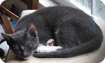 Domestic Shorthair Kitten for adoption in Marietta, Georgia - Kori