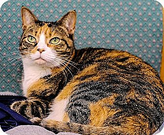 Domestic Shorthair Cat for adoption in Chester, Maryland - Sophie