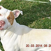 Adopt A Pet :: Chelsea - Los Angeles, CA