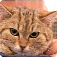 Adopt A Pet :: Sheba - Putnam Valley, NY