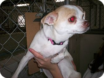 Chihuahua Mix Dog for adoption in Newburgh, Indiana - Lilly