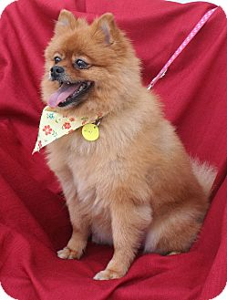 Pomeranian Dog for adoption in Umatilla, Florida - Niky