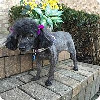 Adopt A Pet :: Rosie - Algonquin, IL