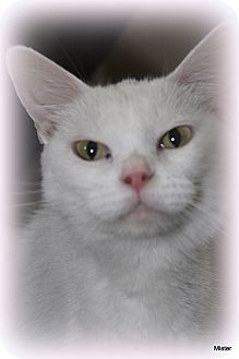 Domestic Shorthair Cat for adoption in O Fallon, Illinois - A.J.