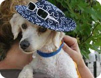 Poodle (Miniature) Mix Dog for adoption in Houston, Texas - Randy