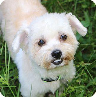 Shih Tzu Mix Dog for adoption in Allentown, Pennsylvania - Simone