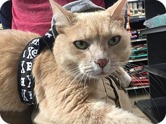 Domestic Shorthair Cat for adoption in Warren, Michigan - Butch