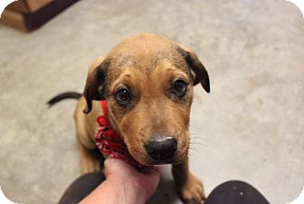 Rottweiler/Boxer Mix Puppy for adoption in Hershey, Pennsylvania - The Boss