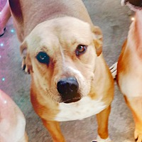 Adopt A Pet :: Tulip - Odessa, TX