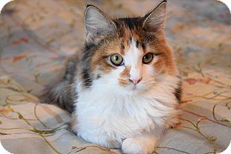 Domestic Mediumhair Kitten for adoption in Wichita, Kansas - Pumpkin