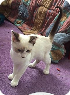 Domestic Shorthair Cat for adoption in Rochester, Minnesota - Frosty