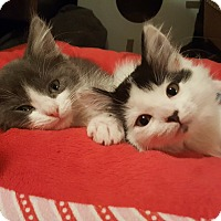 Adopt A Pet :: Romano - St. Louis, MO