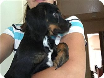 Cocker Spaniel/Beagle Mix Puppy for adoption in Boerne, Texas - Kaboodle