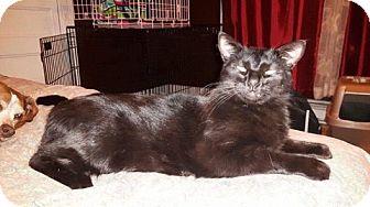 Domestic Shorthair Cat for adoption in Lindsay, Ontario - Thunder