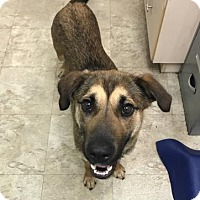 Shepherd (Unknown Type) Mix Dog for adoption in Chicago, Illinois - Macy