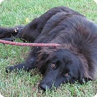 Adopt A Pet :: Sheba - New Canaan, CT