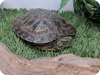 Turtle - Other for adoption in Pefferlaw, Ontario - Carley