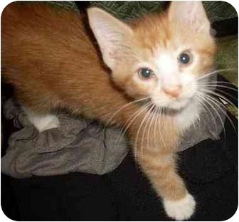 Domestic Shorthair Kitten for adoption in Kirkwood, Delaware - Axel