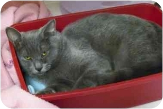 Domestic Shorthair Cat for adoption in Rochester, New York - Lavender