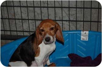 Beagle Dog for adoption in SLC, Utah - Willow