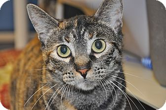 Domestic Shorthair Cat for adoption in Foothill Ranch, California - Ming