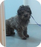 Lhasa Apso/Poodle (Miniature) Mix Dog for adoption in Westminster, California - Domingo