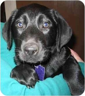 Labrador Retriever Mix Puppy for adoption in Evergreen, Colorado - Cali