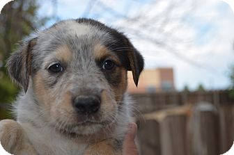 Australian Cattle Dog Mix Puppy for adoption in Westminster, Colorado - Tessa