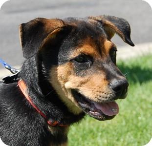 Rottweiler/German Shepherd Dog Mix Puppy for adoption in West Los Angeles, California - Anna