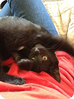 Domestic Shorthair Kitten for adoption in Maple Ridge, British Columbia - Fonzie