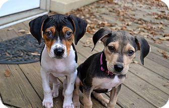 Treeing Walker Coonhound/Hound (Unknown Type) Mix Puppy for adoption in Staunton, Virginia - Opal