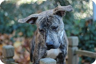 Pit Bull Terrier Mix Dog for adoption in Port Washington, New York - Vegas