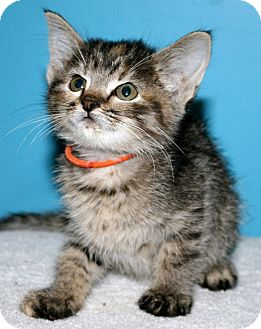 Domestic Shorthair Kitten for adoption in Winston-Salem, North Carolina - Peachy