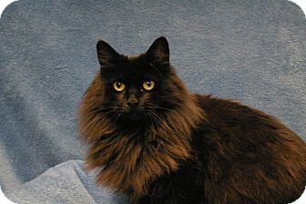 Maine Coon Cat for adoption in Sacramento, California - Lexi